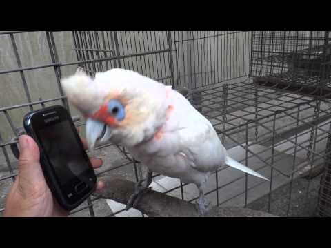 Dancing Oscar (Long-billed Corella) part three