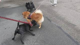 Similar sized but a world apart PATTERDALE, POMERANIAN, SCHIPPERKE SPITZ, Russell cross Estacado Vs.
