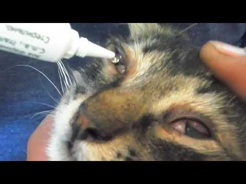 Третье веко у кошки. Острый кератит. Герпесвирусная инфекция. Лечение
