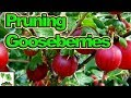How To Prune Gooseberries for High Yields