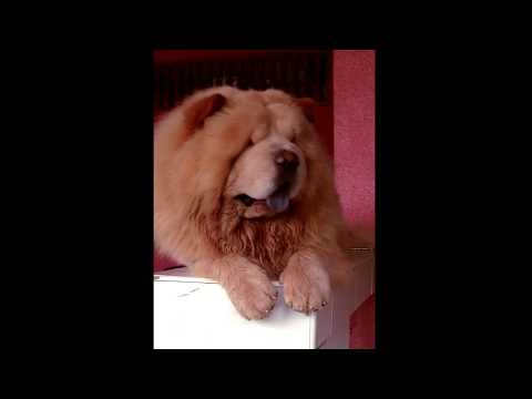 Watch this before you get a Chow Chow Dog