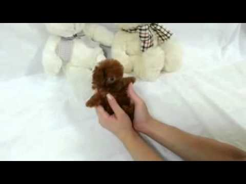 Tiny Micro Apple Red Teacup Poodle Available So Tiny And