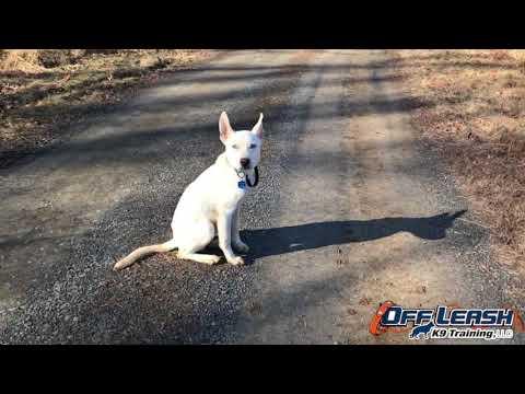 5-Month Old Husky, Frank   Husky Dog Trainers   Off Leash K9 Training