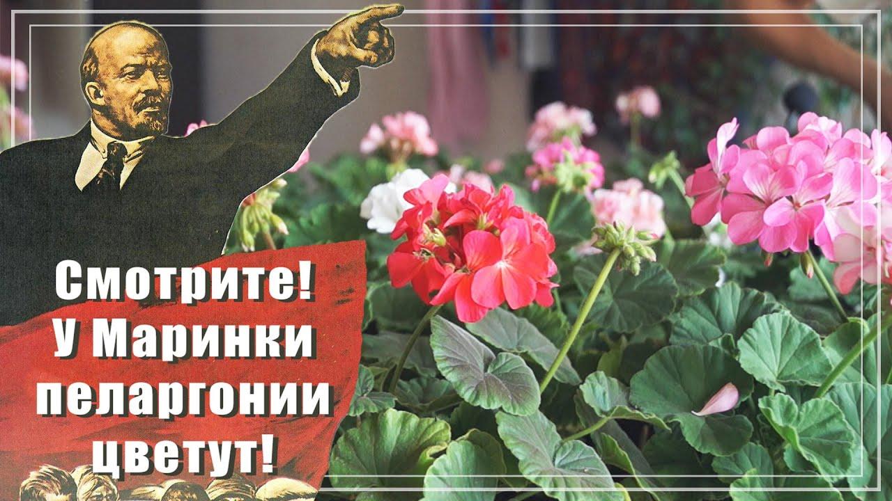 Показываю свои герани. Пеларгонии из семян цветут