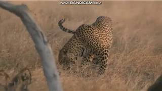Lampart i jego ofiara   - świat zwierząt Afryki    ,, Safari