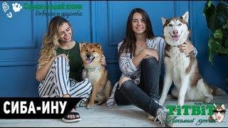 Собаки в нашей жизни: Интервью #7 (Сиба-Ину - характер, уход и воспитание)