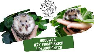 Prezentacja hodowli jeży pigmejskich i uszatych JEZPIGMEJSKI.PL + room tour (WERSJA Z NAPISAMI)
