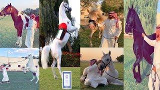 جمال الخيول سبحان الله لشيخة فاطمه الله يحفظها والحصان ديزرت يدخل موسوعة غينيس 2016