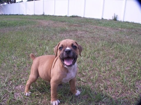 Boxer, Puppies, Dogs, For Sale, In Tucson, Arizona, AZ, 19Breeders, Glendale, Surprise