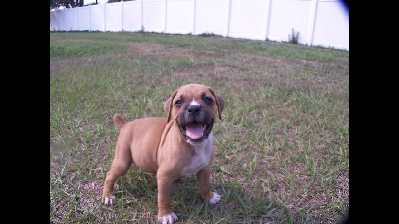 Boxer Puppies Dogs For Sale In Tucson Arizona Az 19breeders