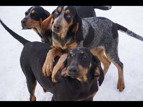 beautiful-bluetick-coonhounds-and-black-&-tan-coonhound-available
