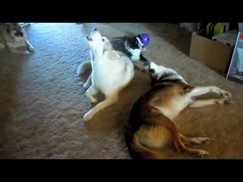 Pack of Dogs Howling (WILL MAKE YOUR PET REACT)