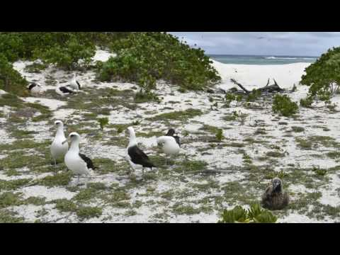 Habitat Restoration and Invasive plant removal on Midway Atoll