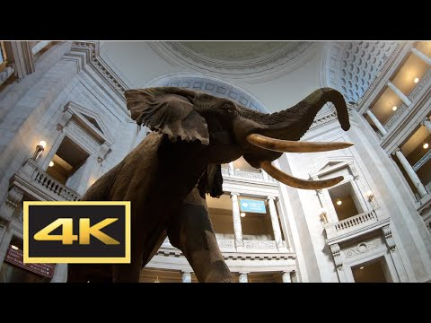 Natural History Museum (New Dinosaur Exhibit) Walking Tour in 4K -- Washington, D.C.