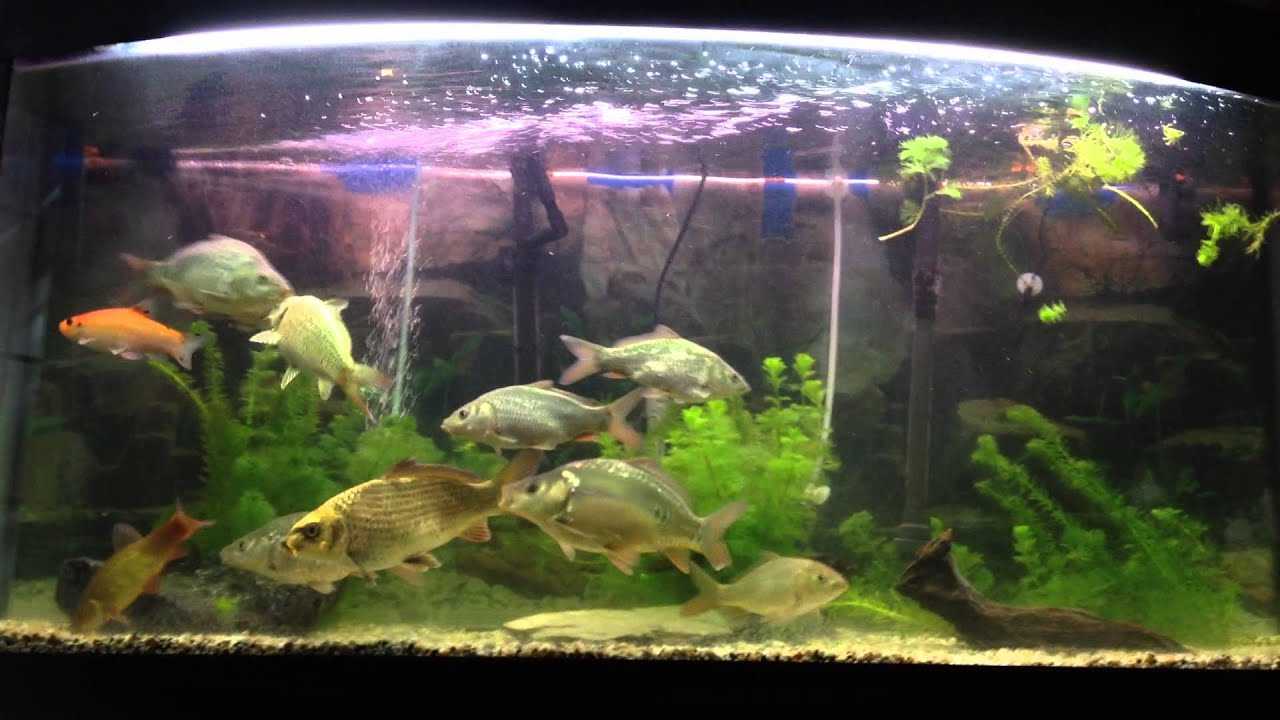 Tropical freshwater aquarium fish uk - Tropical Freshwater Aquarium Fish Uk