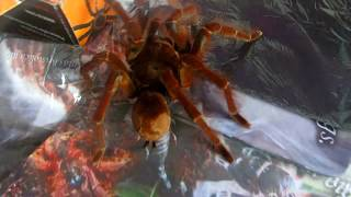 видео theraphosa blondi