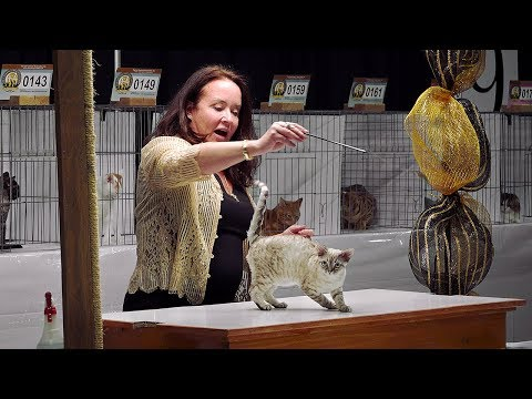 CFA International Cat Show 2017 - Hope Gonano Shorthair Kitten Final