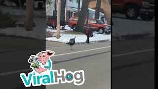 Turkey Chases Boy Down the Street || ViralHog