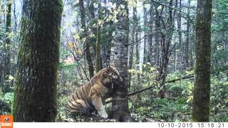 Wild Siberian Tiger in Russian Far East