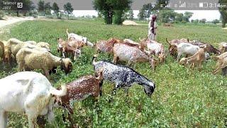 Low cast Goat farming - 02/03/2019 - Mp3 Download