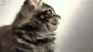 Видео котенка мейн кун черный мрамор Wiona в 2,5 месяца www.coonplanet.ru