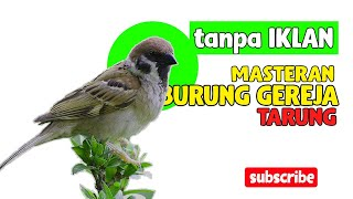 Download lagu MASTERAN BURUNG GEREJA SUARA RAPET, COCOK BUAT BURUNG LOMBA