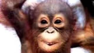 śpiewająca małpka