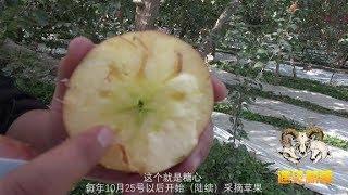 新疆阿克苏苹果为什么好吃?胖纸哥进果园说出三大特点