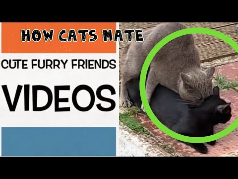 How Cats Mate Up Close Mating Close Up Actually Footage
