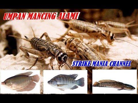 Umpan Alami Ikan Gurame Tawes Lele Sidat Gabus Liar Dan Harian Paling Jitu Youtube