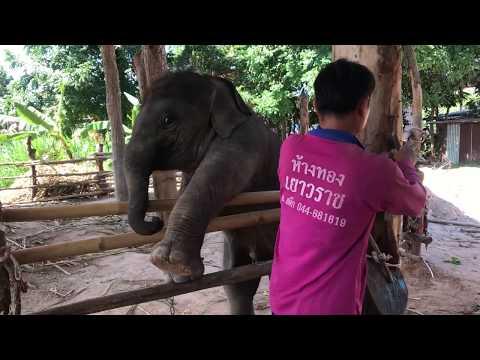 #Persistent #พังคลอกอีกเเล้ว ลูกช้างเเสนซน elephant พลายพลอยทอง
