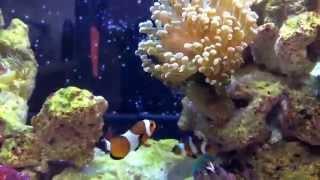 Морской нано аквариум 100 литров Aquades   27 gallon nano reef aquarium Aquades(Морской нано аквариум 100 литров Aquades   27 gallon nano reef aquarium Aquades Заказать изготовление и обслуживание морского..., 2015-05-27T17:55:39.000Z)