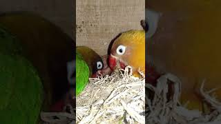 Indukan Lovebird Meloloh Anaknya