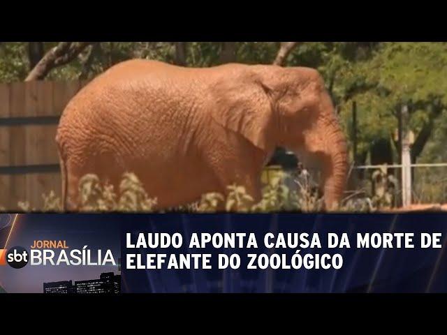 Laudo aponta causa da morte de elefante do Zoológico | Jornal SBT Brasília 05/03/2019
