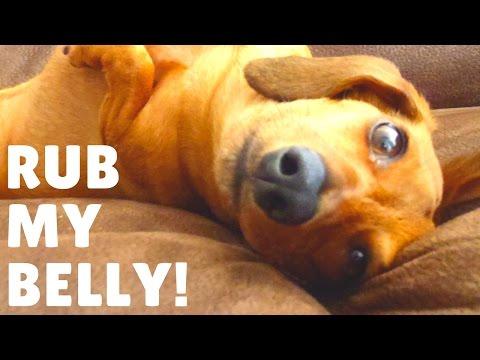 Funny dog loves belly rubs. Mini Dachshund