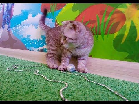 Шотландские котята. Вислоушки. Скоттиш фолд