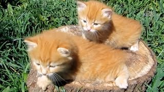Маленькие рыжие котята