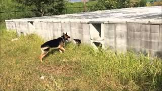災害救助犬 訓練 「秋桜」 〔日本レスキュー協会〕