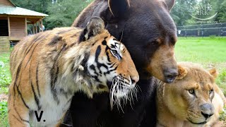 "Tiger, Bear and Lion Live Together As Friends - Best of ""The BLT"" Trio"