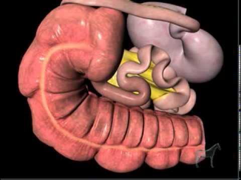 Gastrointestinal Tract of the Horse - YouTube