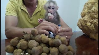 Baby Monkey Doo Loves Longan - Funny Animals