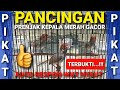 Pancingan Prenjak Kepala Merah Gacor Pikat Prenjak Merah Gacor  Mp3 - Mp4 Download