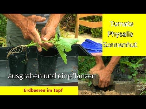 Garten Tomaten Physalis Erdnuss Chili Mais Und Mehr In Der Anzucht