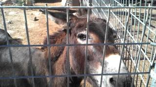 Fedding the hungry donkey at Las Vegas petting zoo