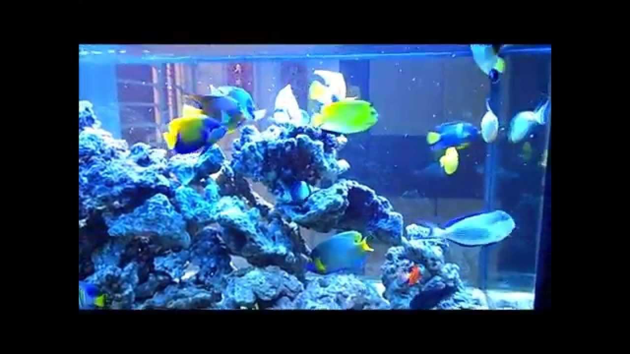 Marine angelfish community tank youtube for Community saltwater fish