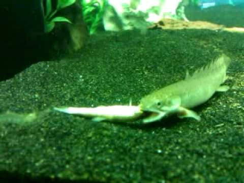 150 gallon aquarium senegalus bichirs roaming doovi for Bichir fish for sale