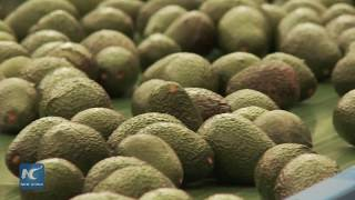 Chile becomes the main supplier of avocado to China