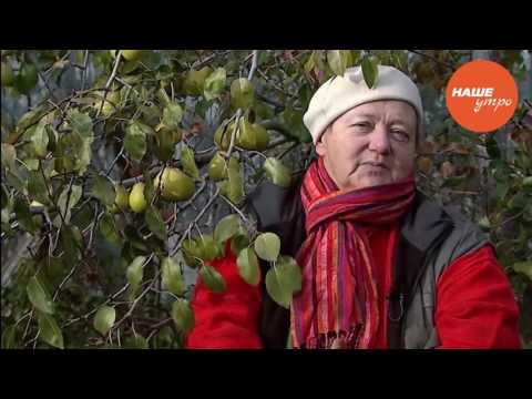 Садовый центр саженцы Cаженцы груш, сорта, описание