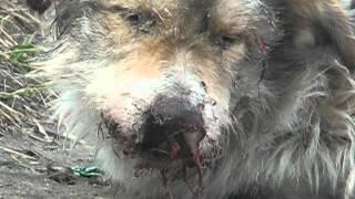 Тернопіль: помирає отруєний собака