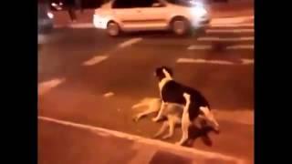 Собака защищает друга